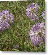 Rocky Mountain Bee Plant Metal Print