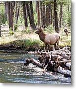 Rocky Mountain Elk Metal Print by Cindy Singleton