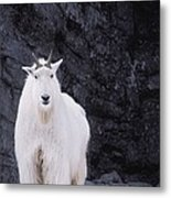 Rocky Mountain Goat Metal Print