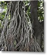 Roots From A Large Tree Inside Jallianwala Bagh Metal Print