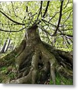 Roots Of An Old Beech Tree Metal Print