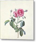 Rose Dutch Hundred Leaved Rose Metal Print