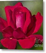 Rose Flower Series 2 Metal Print