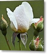 Rose Flower Series 5 Metal Print
