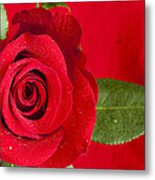 Rose Flower Wet 1 B Metal Print