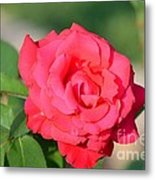 Rose In The Morninglight Metal Print