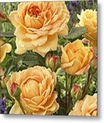 Rose Rosa Sp Golden Celebration Variety Metal Print