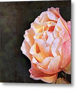 Rose With Dewdrops Metal Print