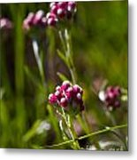 Rosy Pussytoes Wildflowers At Lake Irwin Metal Print