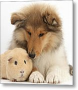 Rough Collie Pup And Yellow Guinea Pig Metal Print