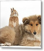 Rough Collie Pup With Sandy Netherland Metal Print