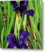 Royal Purple Iris Metal Print