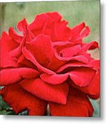 Royal Red Rose Metal Print
