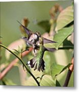 Ruby-throated Hummingbird - An Altercation Metal Print