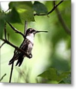 Ruby-throated Hummingbird - Shade Metal Print