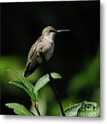 Ruby-throated Hummingbird Female Metal Print