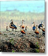 Ruddy Shelducks Metal Print