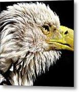 Ruffled Bald Eagle Metal Print