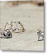 Run Little One  Piping Plover Metal Print