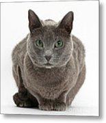 Russian Blue Cat Metal Print