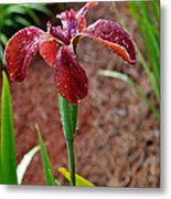Rust Colored Beardless Iris Metal Print