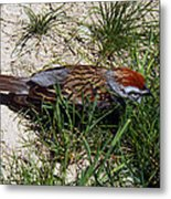 Rusty Capped Sparrow Metal Print