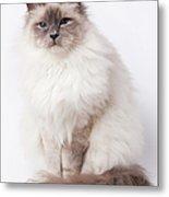 Sacred Birman Cat With Blue Eyes Metal Print