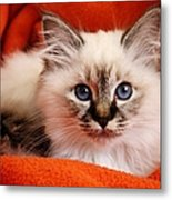Sacred Cat Of Burma In Red Blanket Metal Print