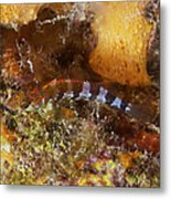 Saddled Blenny, Bonaire, Caribbean Metal Print