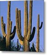 Saguaro Cacti In Desert Landscape Metal Print