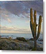 Saguaro Carnegiea Gigantea Cactus Metal Print