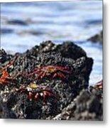 Sally Lightfoot Crabs Metal Print