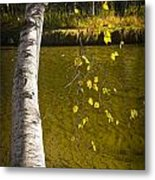 Salmon During The Fall Migration In The Little Manistee River In Michigan No. 0887 Metal Print