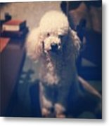 Sammy! #dogs #puddle #animals #cute Metal Print