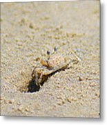 Sand Crab Digging His Hole Metal Print