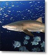 Sand Tiger Shark Swimming In Blue Water Metal Print