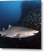 Sand Tiger Shark Swims By The Wreck Metal Print