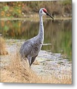 Sandhill Crane Beauty By The Pond Metal Print