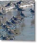 Sanderlings Metal Print