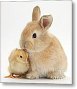 Sandy Rabbit And Yellow Bantam Chick Metal Print