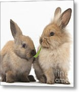Sandy Rabbits Sharing Grass Metal Print