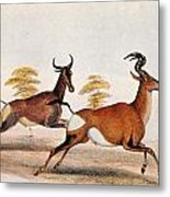 Sassaby And Hartebeest, Metal Print