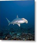 Scalloped Hammerhead Shark Metal Print