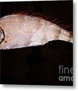 Scalloped Ribbonfish Metal Print