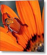 Scarab Beetle On A Guzmania Flower Metal Print