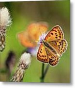 Scarce Copper Butterfly Metal Print