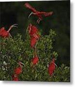 Scarlet Ibises Roost In A Red Mangrove Metal Print