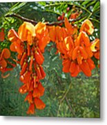Scarlet Wisteria Tree - Sesbania Punicea Metal Print