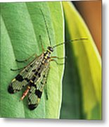 Scorpion Fly Metal Print