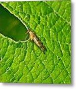 Scorpion Fly Nosing Around Metal Print